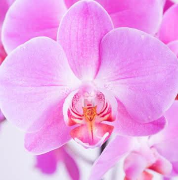 Orquídeas roxo