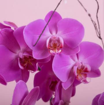 Enviar orquídeas roxo
