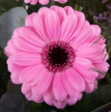 Arranjo gerberas cor-de-rosa