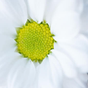Margaridas Brancas