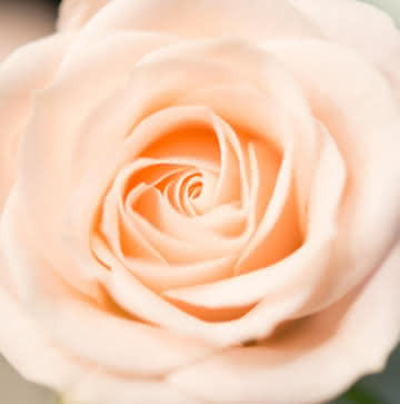 Arranjo rosas pastel