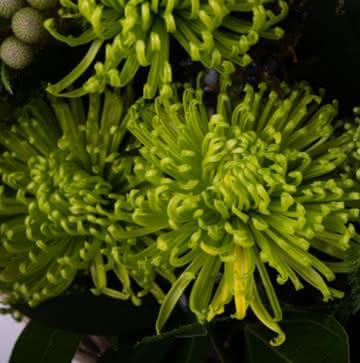 Flore para nascimento